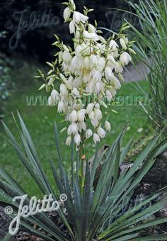 YUCCA filamentosa   Portion(s)