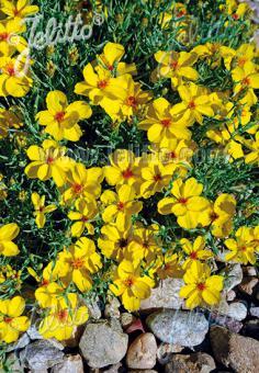 ZINNIA grandiflora   Portion(s)