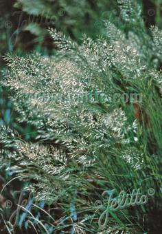 ACHNATHERUM calamagrostis   Portion(s)