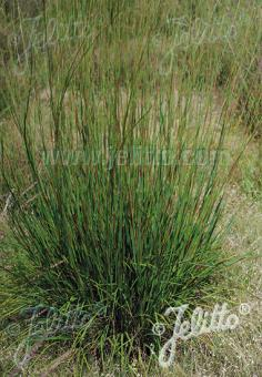 ANDROPOGON scoparius  'Camper' Portion(s)