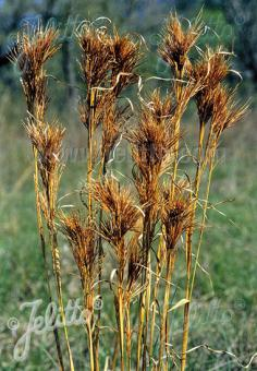ANDROPOGON glomeratus   Portion(s)