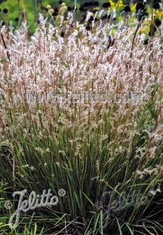 ANDROPOGON scoparius  'Blaze' Portion(s)