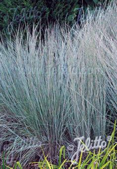 ANDROPOGON scoparius  'Prairie Blues' Portion(s)