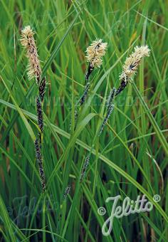 CAREX acuta   Portion(s)