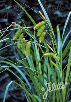 CAREX comosa   Portion(s)