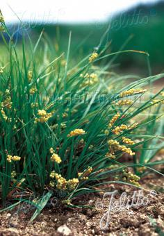 CAREX aurea   Portion(s)