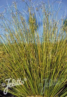 CAREX buchananii f. viridis  'Green Twist' Portion(s)