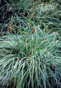 CAREX flacca   Portion(s)