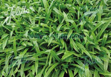 CAREX plantaginea  'Blue Ridge' Portion(en)