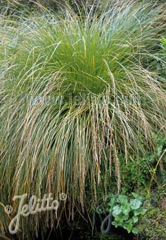 CAREX secta   Portion(s)