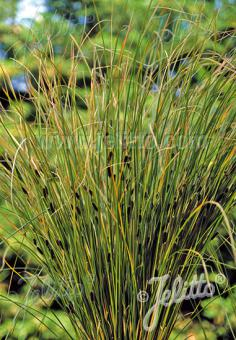 CAREX solandri   Portion(s)