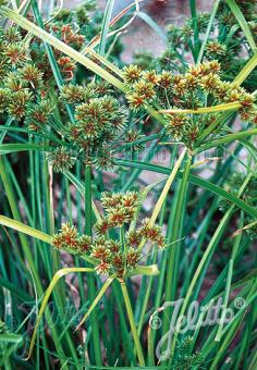 CYPERUS glaber   Portion(s)