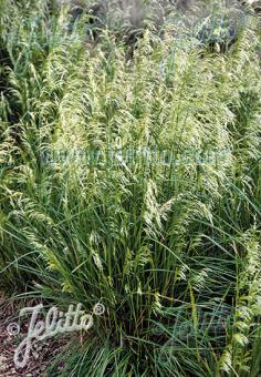 DESCHAMPSIA cespitosa  'Pixie Fountain' Portion(s)