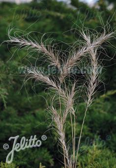 ELYMUS canadensis  'Icy Blue' Portion(s)