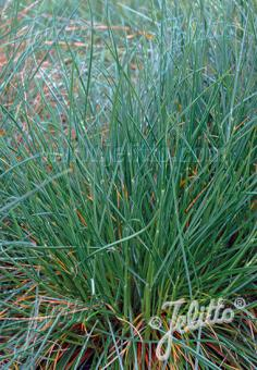 FESTUCA pulchella   Portion(s)