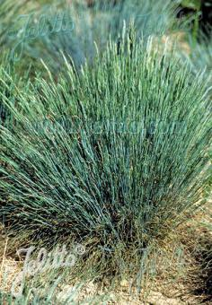 FESTUCA valesiaca   Portion(s)