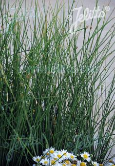 JUNCUS pallidus   Portion(s)