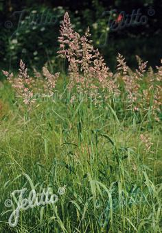 PHALARIS arundinacea   Portion(s)
