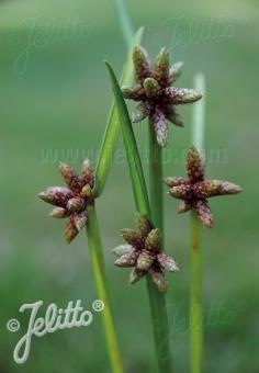 SCIRPUS mucronatus   Portion(en)