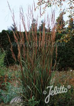 SORGHASTRUM nutans   Portion(s)