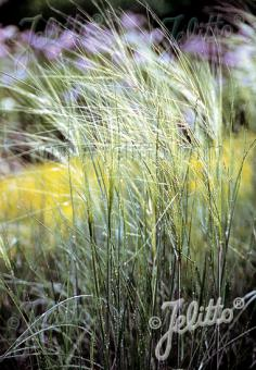 STIPA capillata   Portion(s)