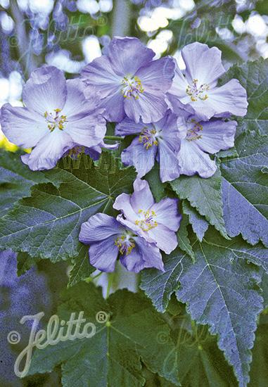 ABUTILON vitifolium   Portion(s)