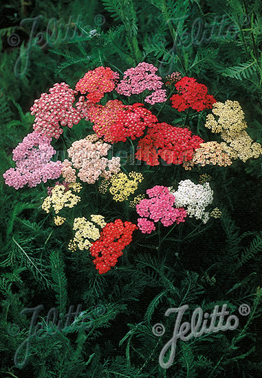 ACHILLEA millefolium  'Colorado' Portion(en)