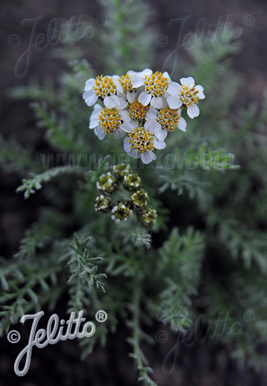 ACHILLEA nana   Portion(en)