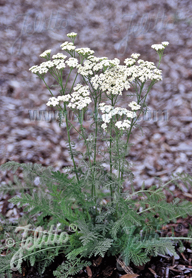 ACHILLEA nobilis   Portion(en)