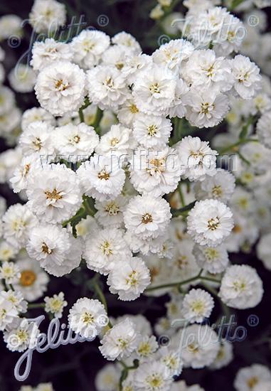 ACHILLEA ptarmica fl. pl.  'Noblessa' Portion(s)