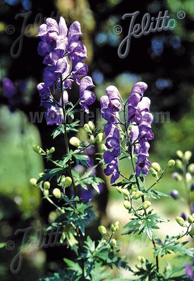 ACONITUM variegatum   Portion(s)