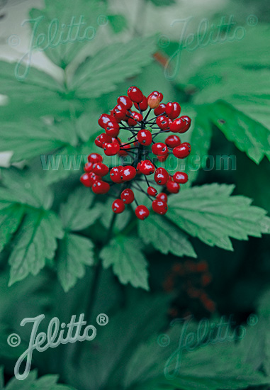 ACTAEA rubra   Portion(s)