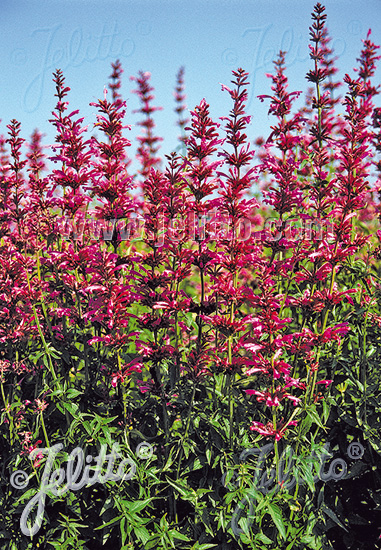 AGASTACHE mexicana  'Sangria' Portion(en)