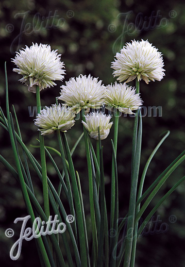 ALLIUM schoenoprasum Ornamental-One Series 'White One' Portion(s)