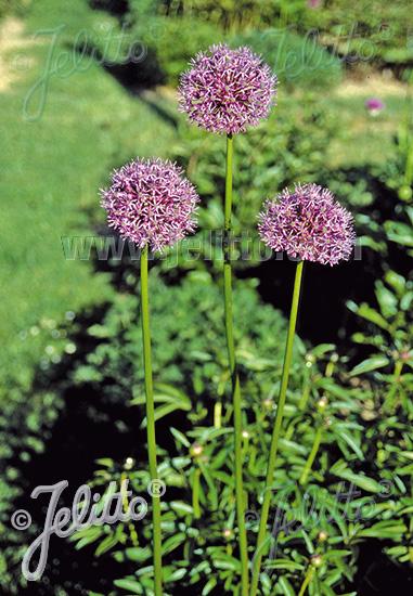 ALLIUM rosenbachianum   Portion(en)