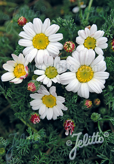 ANACYCLUS pyrethrum var. depressus f. compactum  'Silberkissen' Portion(s)