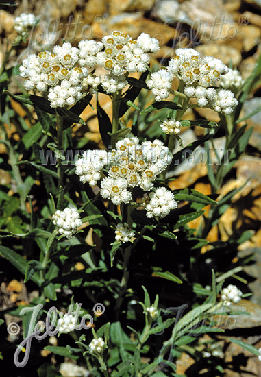 ANAPHALIS margaritacea  'Neuschnee' Portion(s)
