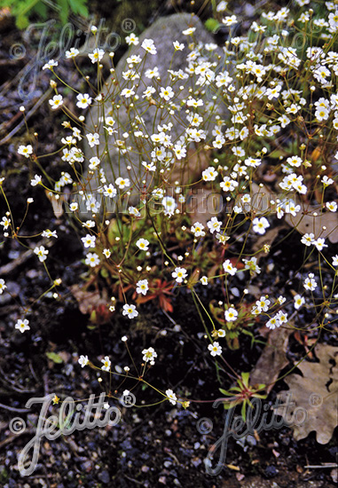 ANDROSACE septentrionalis  'Star Dust' Portion(s)