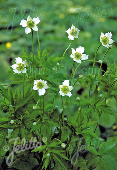 ANEMONE cylindrica   Portion(s)