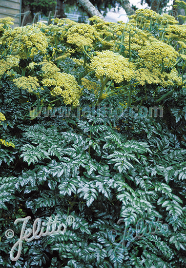 ANGELICA pachycarpa   Portion(en)
