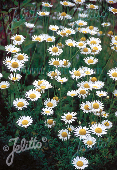 ANTHEMIS tinctoria  'Alba' Portion(s)