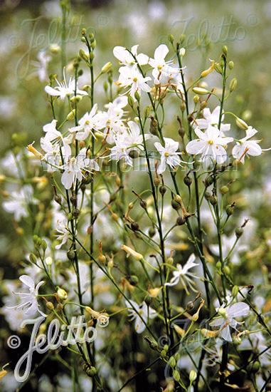 ANTHERICUM ramosum   Portion(s)