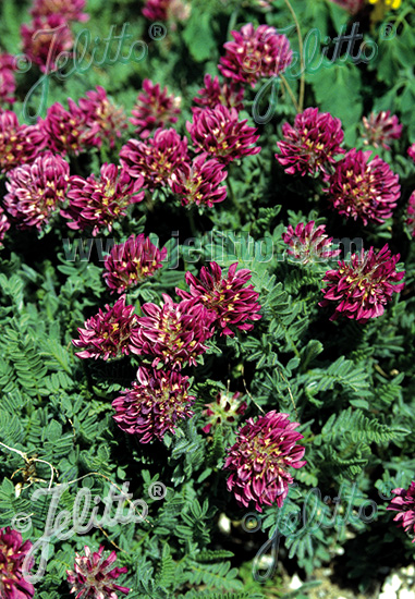 ANTHYLLIS montana  'Rubra' Portion(s)