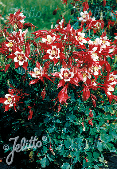 AQUILEGIA Caerulea-Hybr.  'Red Hobbit' Portion(s)