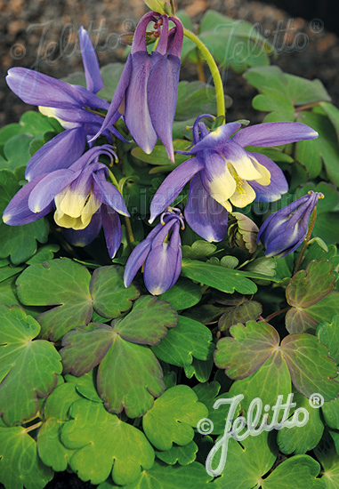 AQUILEGIA flabellata Cameo-Series 'Cameo Blue-White' Portion(s)