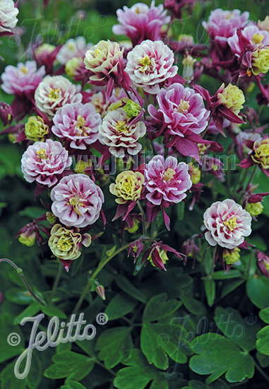 AQUILEGIA vulgaris Winky-Series 'Winky Double Red-White' Portion(s)