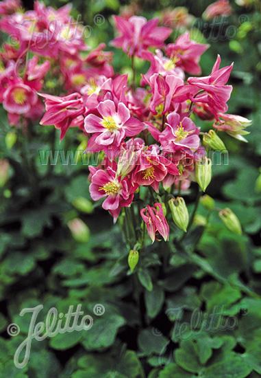 AQUILEGIA vulgaris Winky-Series 'Winky Rose-Rose' Portion(s)