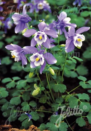 AQUILEGIA flabellata Spring Magic-Series 'Spring Magic Blue-White' Portion(s)