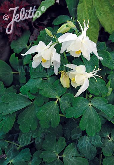 AQUILEGIA flabellata Spring Magic-Series 'Spring Magic White' Portion(s)