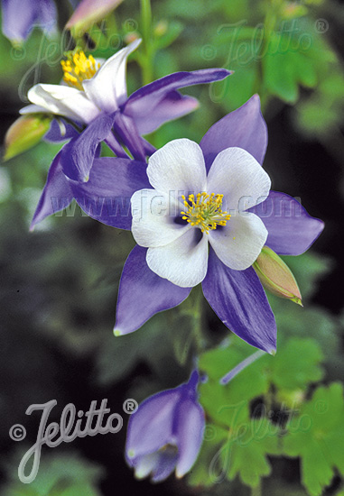 AQUILEGIA F1-Hybr. caerulea State-Series 'Virginia' Portion(s)
